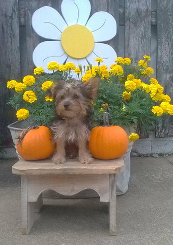 Yorkipoo For Sale Winesburg OH Female- Snickers