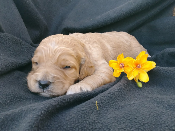 F1B Medium Labradoodle For Sale Millersburg, OH Male- Snoopy
