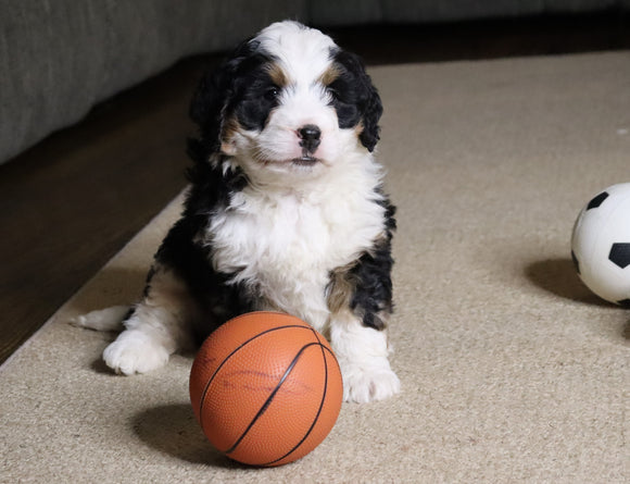 Mini Bernedoodle For Sale Fredericksburg, OH Male- Snoopy