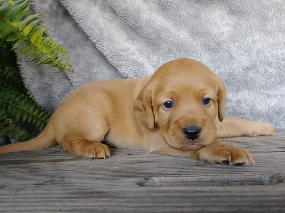 F1B Mini Labradoodle For Sale Millersburg, OH Male- Snoopy