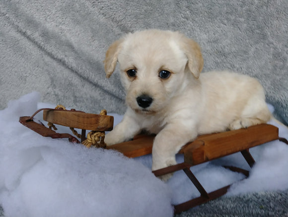 F1B Mini Labradoodle For Sale Millersburg, OH Female- Snuggles