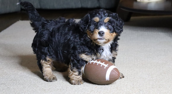 Mini Bernedoodle For Sale Fredericksburg, OH Female- Snuggles