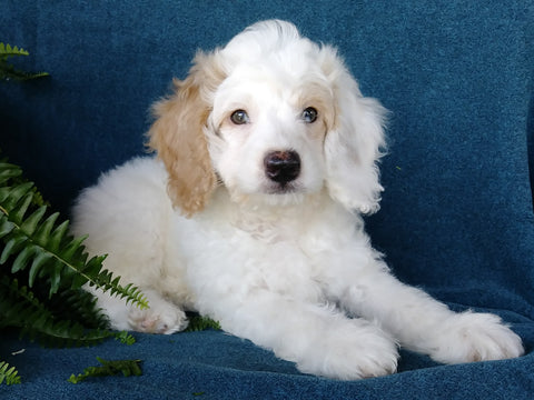 Cockapoo For Sale Millersburg, OH Male- Munchkin
