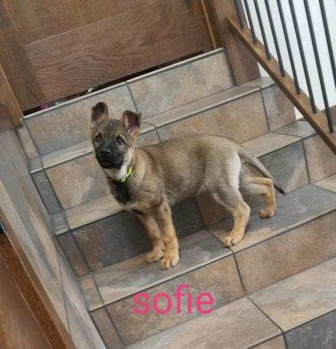 AKC Registered German Shepherd For Sale Millersburg, OH Female- Sofia