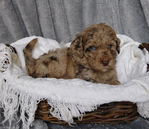 Mini Labradoodle For Sale Millersburg, OH Female- Sophia