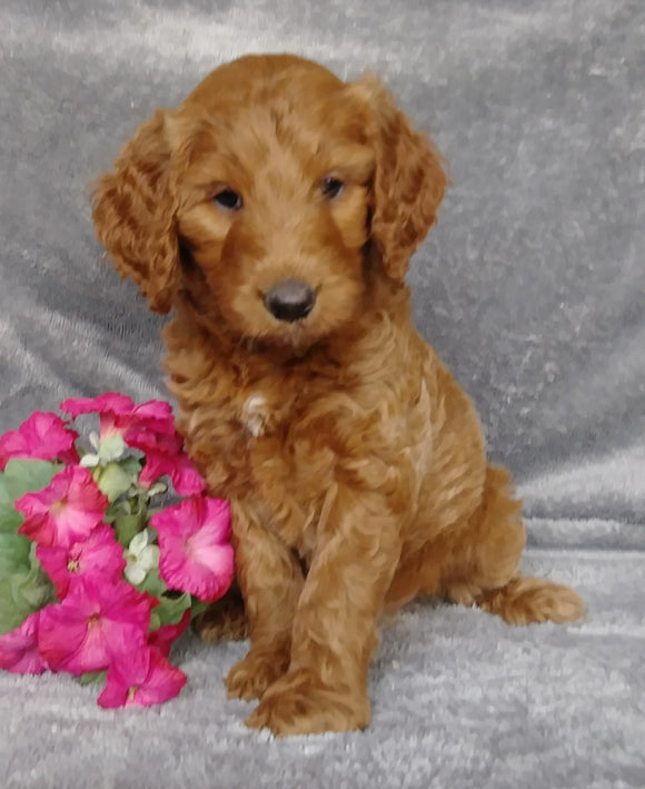 Goldendoodle For Sale Millersburg, OH Female- Sprite