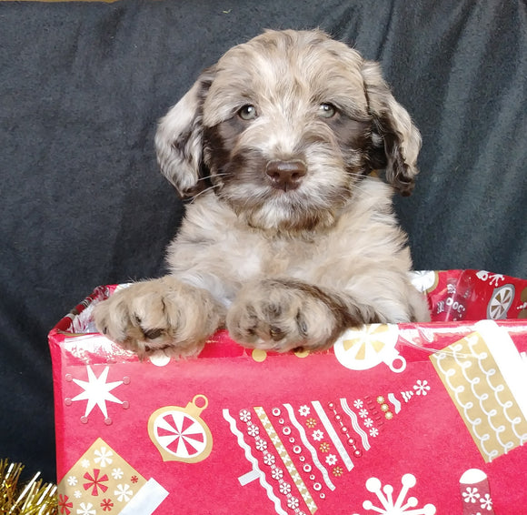 Mini Labradoodle For Sale Millersburg, OH Female- Starlight