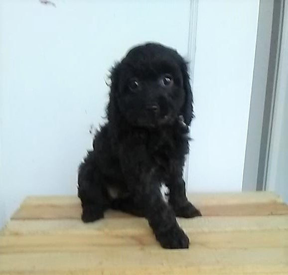 F1B Cavapoo For Sale Sugarcreek, OH Female- Stella