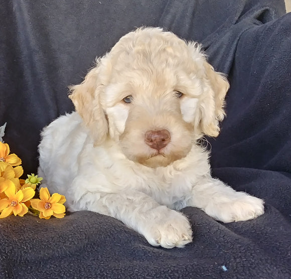 F1B Mini Labradoodle For Sale Millersburg, OH Female- Sunshine