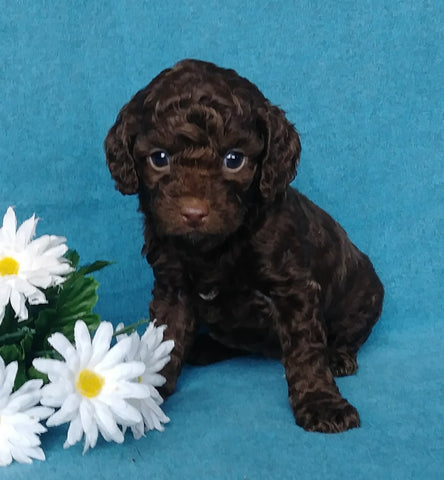 Cockapoo Puppy For Sale Millersburg, OH Female- Sunshine