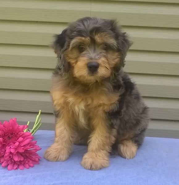 Mini Aussiedoodle For Sale Berlin, OH Female- Cupcake