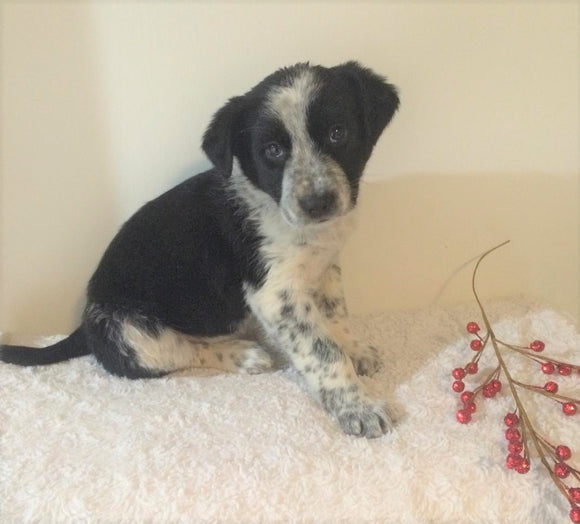 Border Collie/ Australian Shepherd Mix For Sale Holmesville, OH Male- Teddy