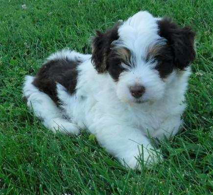 Mini Aussiedoodle For Sale Baltic, OH Male- Teddy