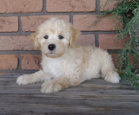 F1B Mini Labradoodle For Sale Millersburg, OH Male- Teddy
