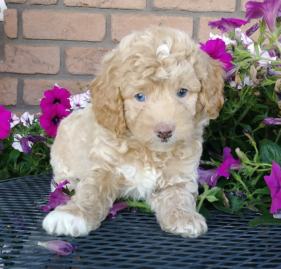 Cockapoo For Sale Millersburg, OH Male- Biscuit