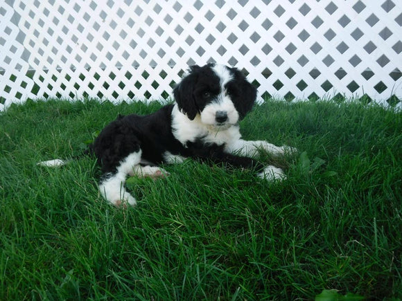 Sheepadoodle For Sale Baltic, OH Female- Tiffany