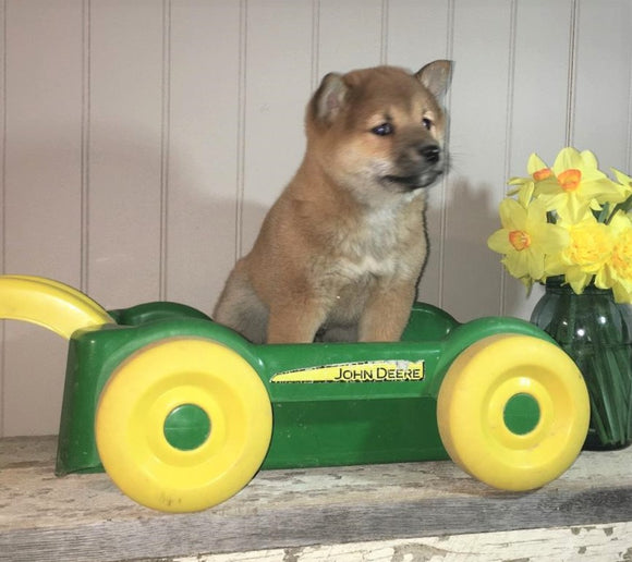 AKC Registered Shiba Inu For Sale Dundee, OH Male- Toby