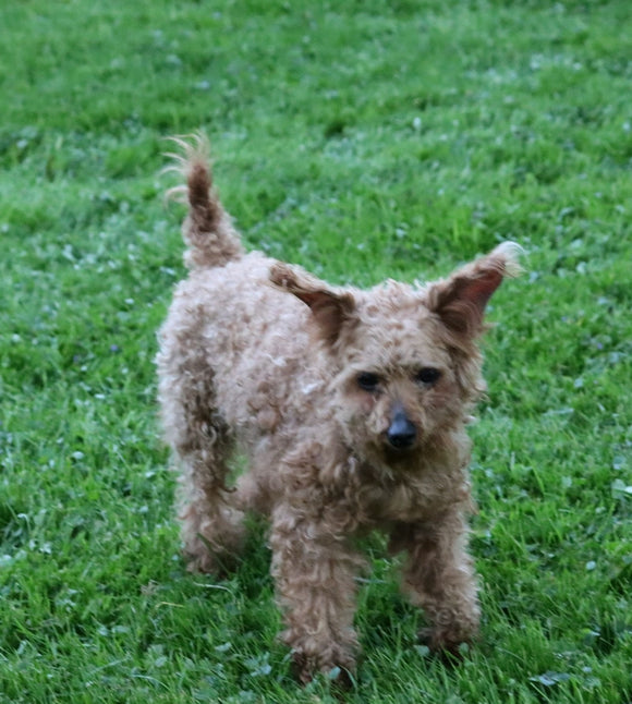 AKC Registered Miniature Poodle For Sale Fredericksburg, OH Male- Tommy