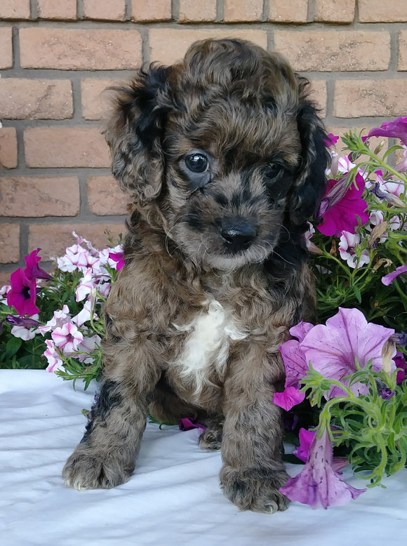 Cockapoo For Sale Millersburg, OH Male- Muffin