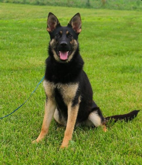 AKC Registered German Shepherd For Sale Fredericksburg, OH Female- Tracey