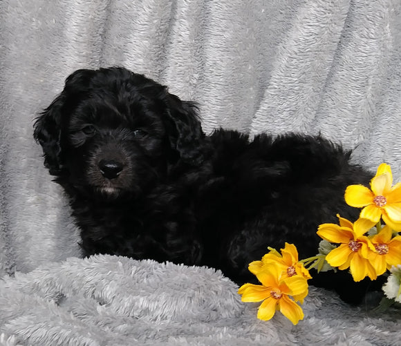 Mini Labradoodle For Sale Millersburg, OH Female - Tulip