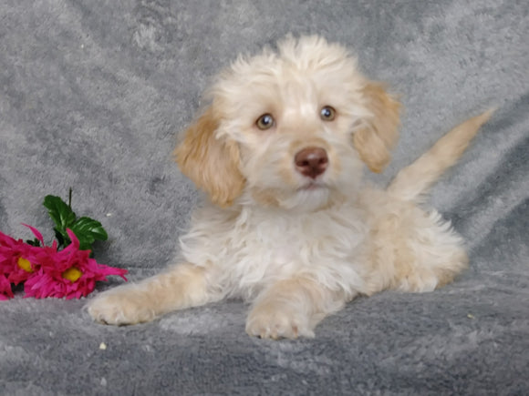 F1B Mini Labradoodle For Sale Millersburg, OH Female- Twinkie