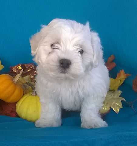Shichon Puppy For Sale Male Millersburg Ohio Teddy Bear