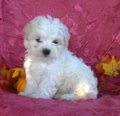 Shichon Puppy For Sale Female Millersburg Ohio Princess