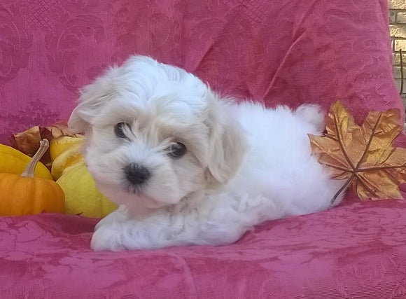 Shichon Puppy For Sale Female Millersburg Ohio Bella