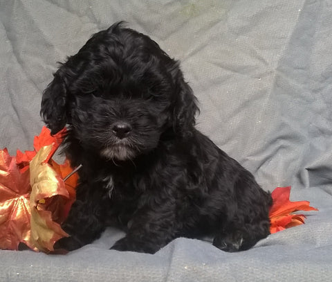Cockapoo Puppy For Sale Berlin Ohio Male Midnight