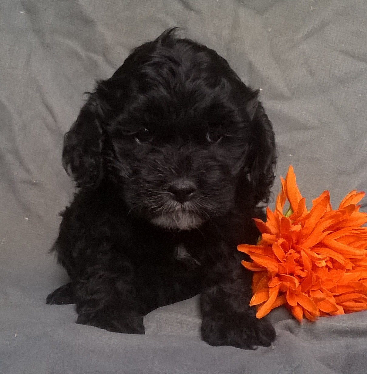 Gorgeous cockapoo puppies for sale | Russia