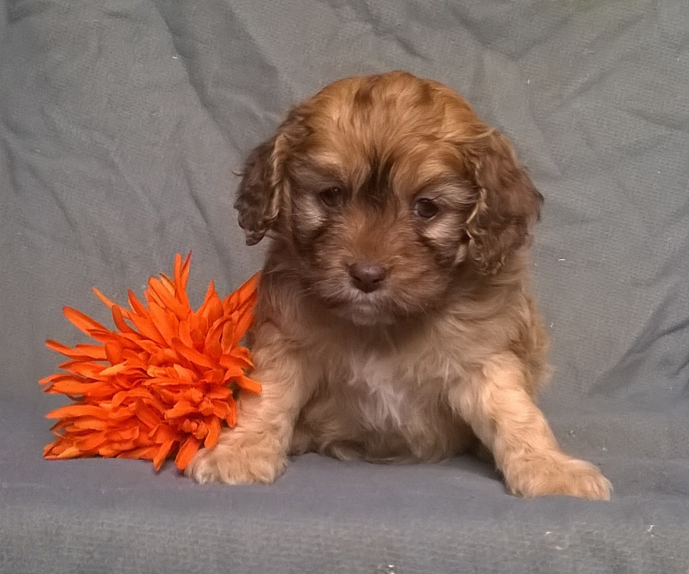 Cockapoo Puppy For Sale Berlin Ohio Muffin Female  Ac Puppies Llc-3426