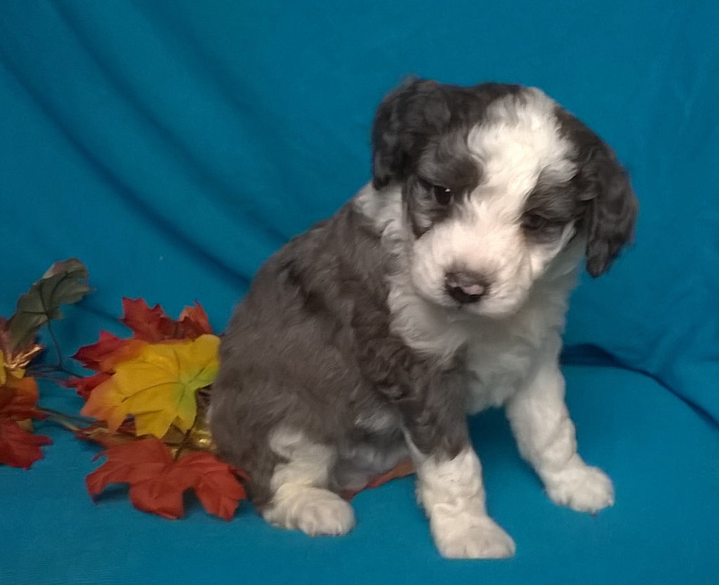 Mini Aussiedoodle Male Blue Merle White Puppy For Sale Snuggles Berl Ac Puppies Llc