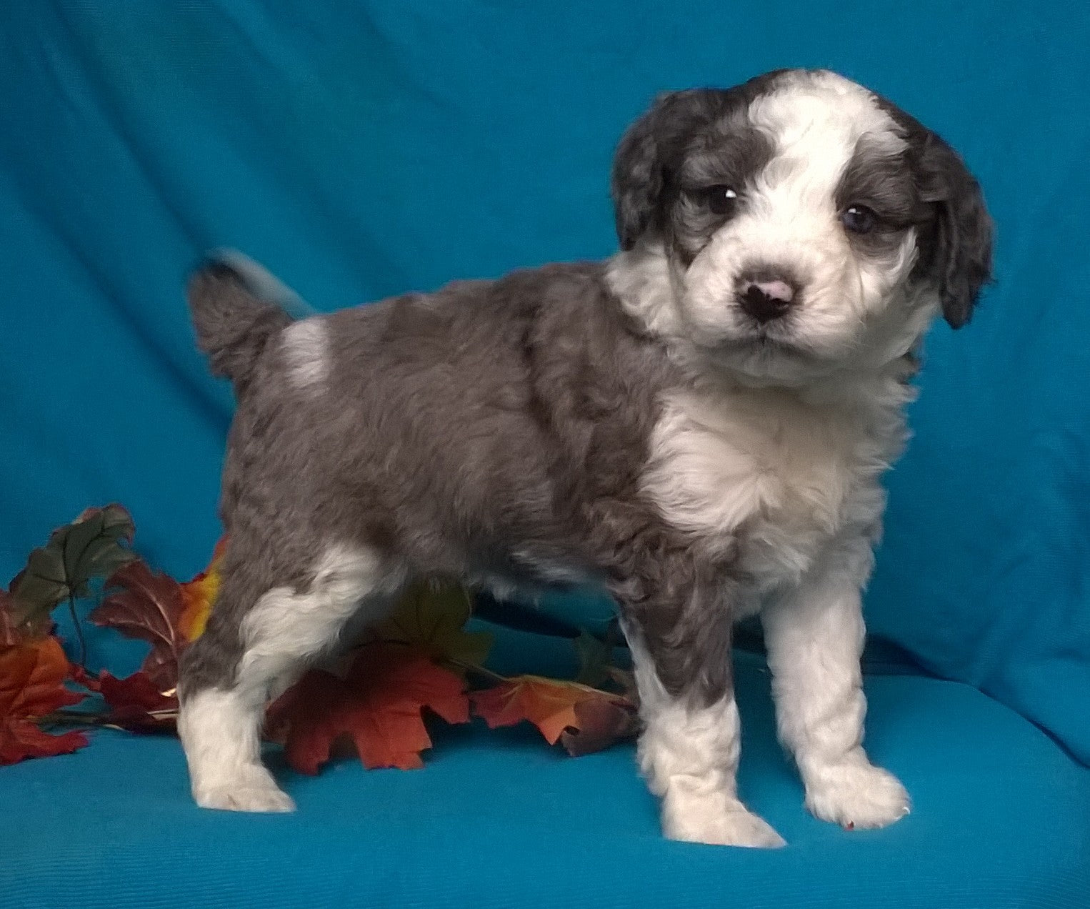 Aussiedoodle Male Blue Merle White Puppy For Sale Snuggles Berlin Ohio