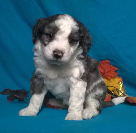 (Mini) AussieDoodle Male Blue Merle White Puppy For Sale Snuggles Berlin Ohio