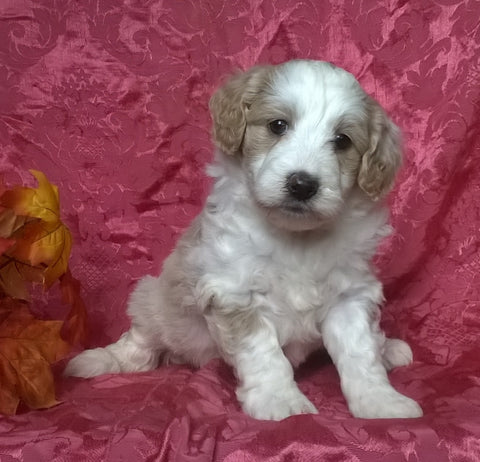(Mini) AussieDoodle Female Puppy For Sale Blossom Berlin Ohio
