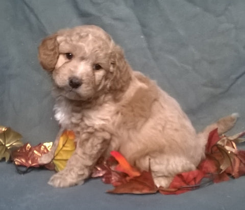 (Mini) AussieDoodle Male Puppy For Sale Apricot Berlin Ohio