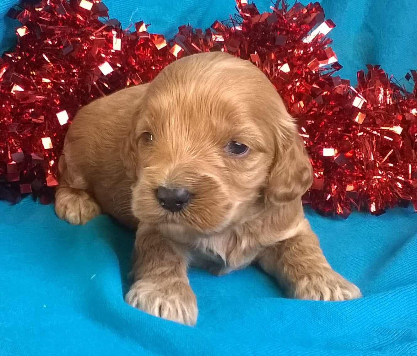 Candy Cane Female Cockapoo Puppy For Sale Millersburg Ohio ...