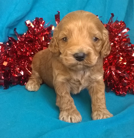 Candy Cane Female Cockapoo Puppy For Sale Millersburg Ohio