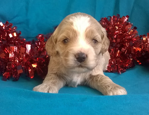 Snowflake  Female Cockapoo Puppy For Sale Millersburg Ohio