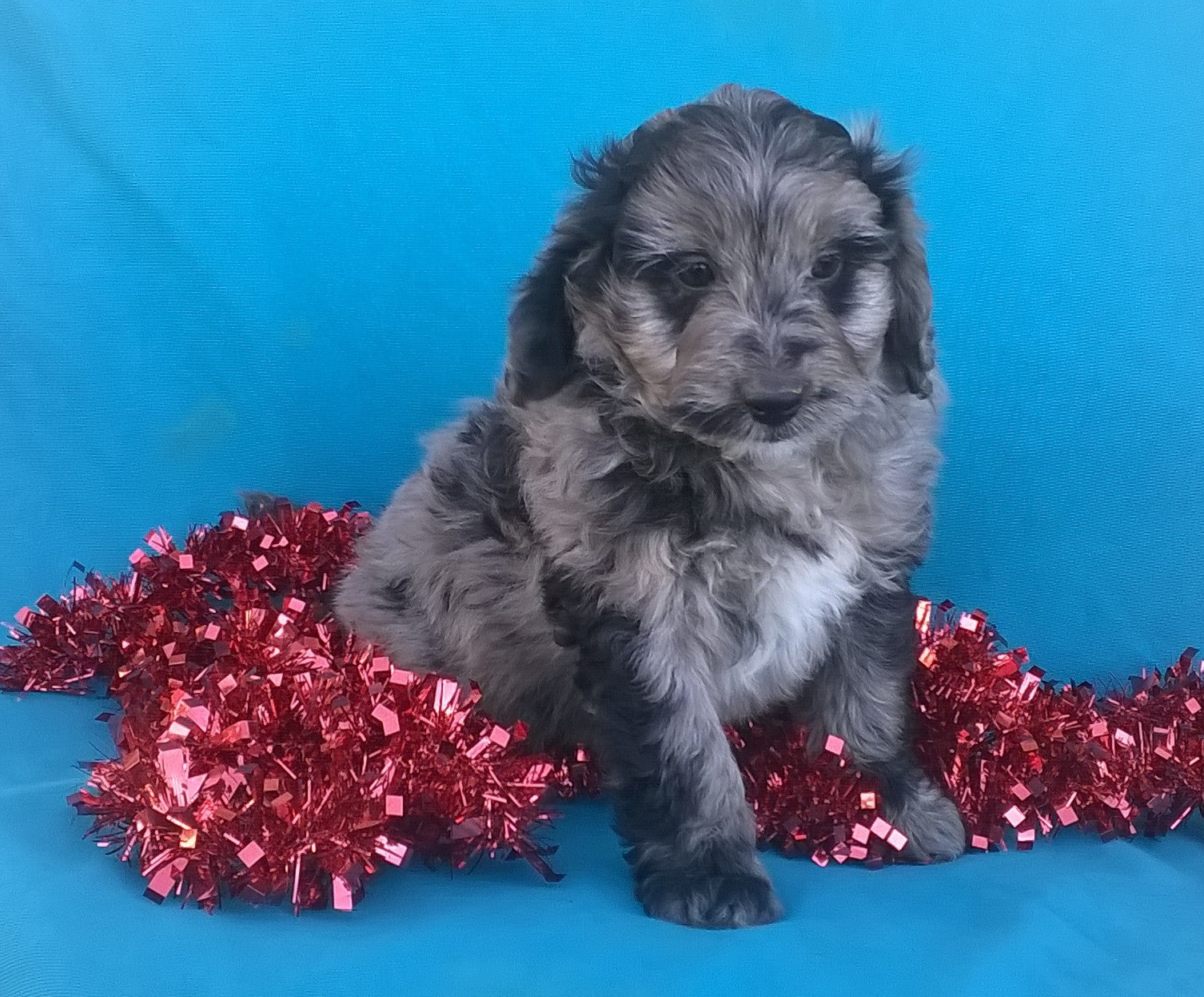 Mini Aussiedoodle Female Blue Merle White Puppy For Sale Petunia Ber Ac Puppies Llc