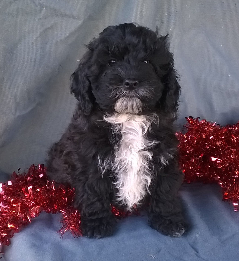 Cockapoo Puppies for Sale in Kansas USA