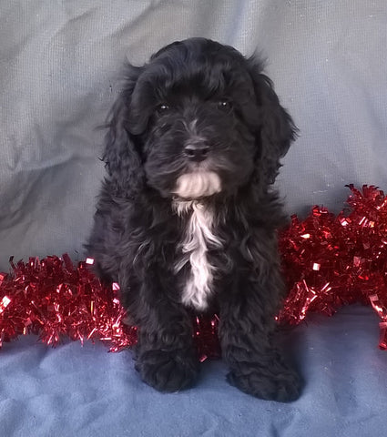 Cockapoo Puppy For Sale Berlin Ohio Male Manny Male