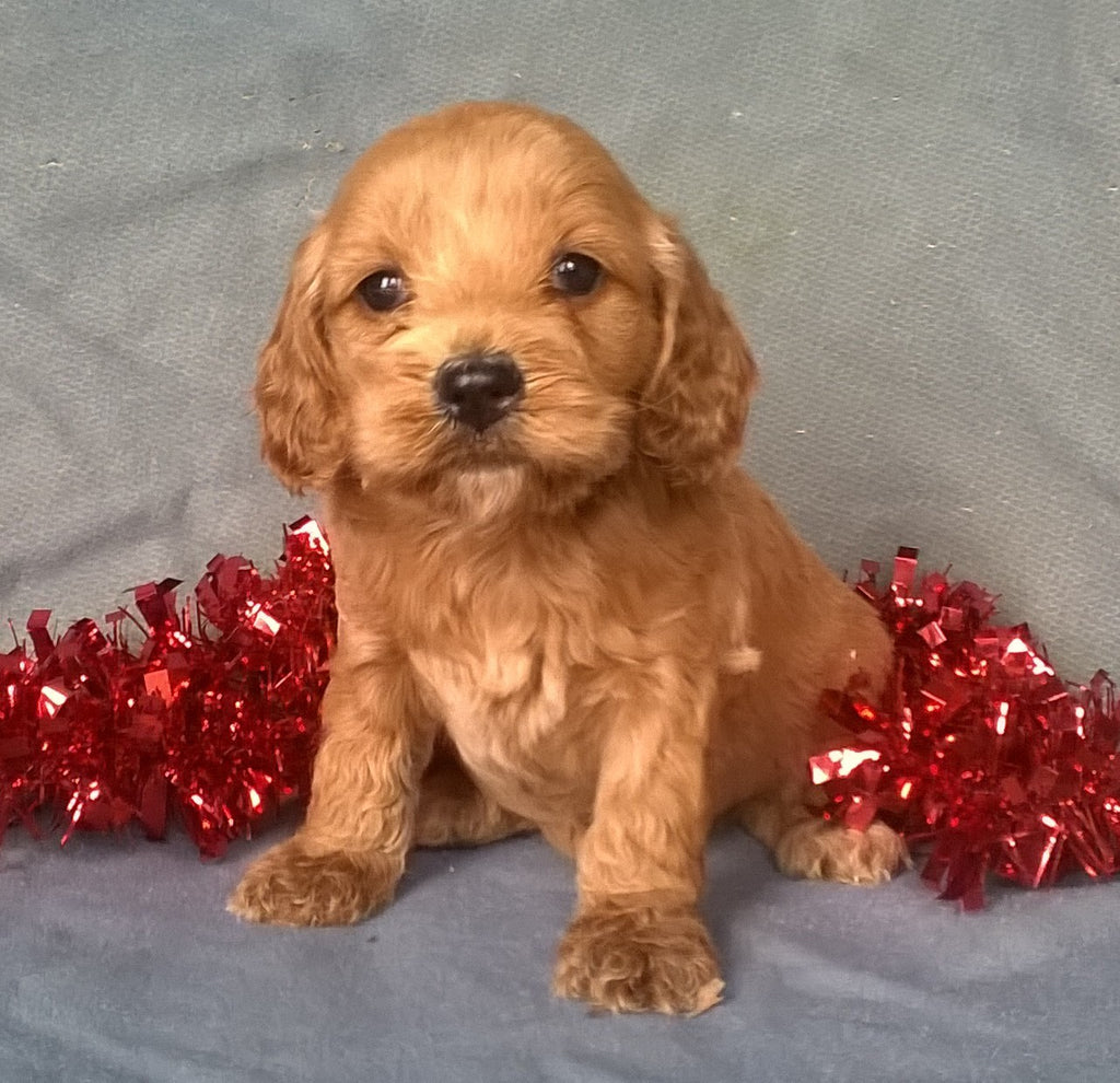Angel Female Cockapoo Puppy For Sale Millersburg Ohio  Ac Puppies Llc-8798