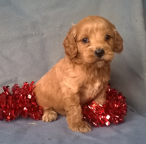 Angel  Female Cockapoo Puppy For Sale Millersburg Ohio