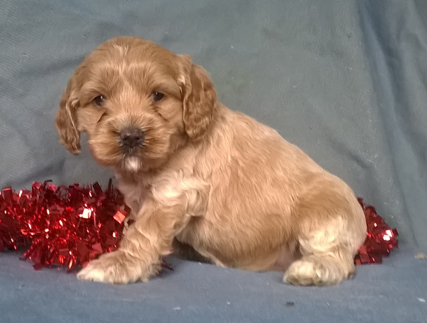 Cockapoo Puppies For Sale Kwazulu Natal South Africa