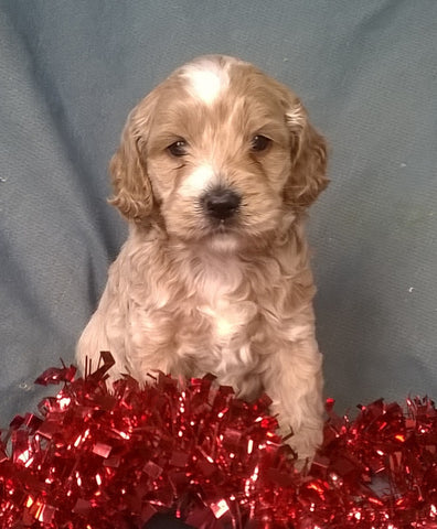 Santa Male Cockapoo Puppy For Sale Millersburg Ohio