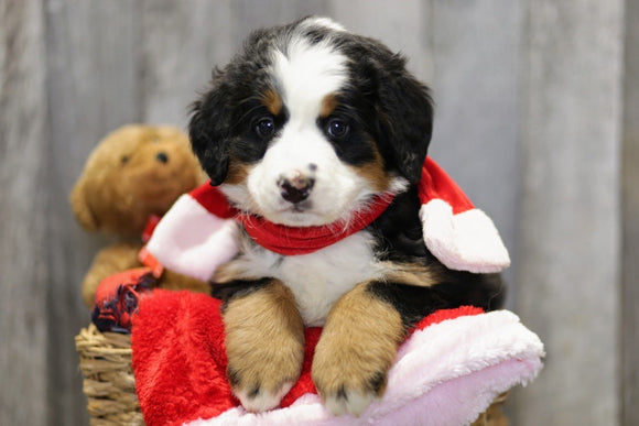 AKC Registered Bernese Mountain Dog For Sale Brinkhaven, OH Female- Willow