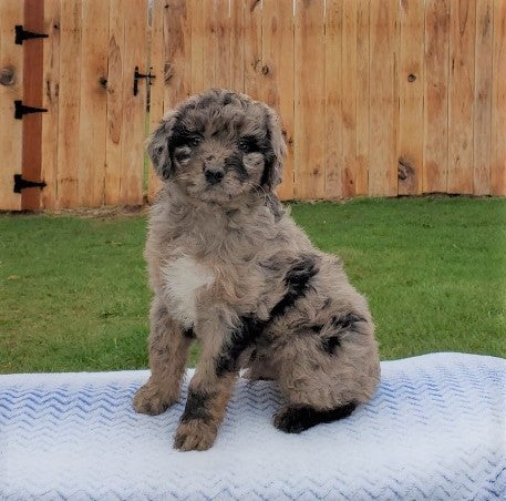 Mini Aussiedoodle For Sale Holmesville, OH Male- Winston