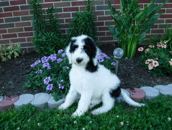 Sheepadoodle (Standard) For Sale Baltic, OH Male- Winston
